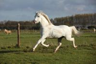Sweaty welsh mountain pony stallion