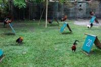 Filipino Fighting cocks, Boracay Philippines