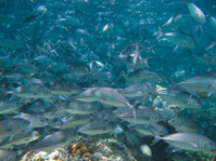huge school of jackfish
