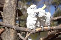 Couple of white cockatoo parrots