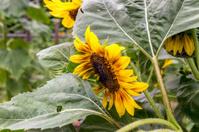 Side vew of a sunflower head