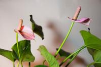 Pigtail Plants