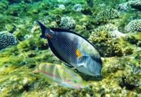 Arabian surgeonfish and klunzinger's wrasse fish underwater