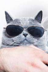 Funny muzzle of gray British cat in sunglasses