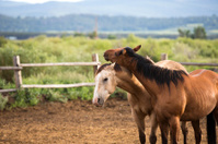 Ranch Horses Scratching On Each Other