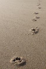 Dog tracks on the Beach