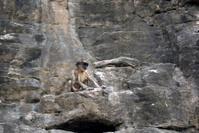 Hanuman langur, Ranthambore National Park, Rajasthan,  India