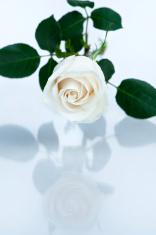 Reflecting White Rose