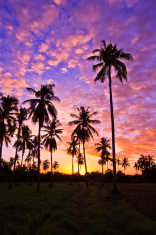 Sunrise in the morning coconut groves