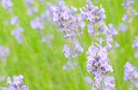 Lavender flower top