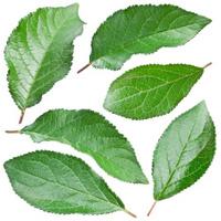 Plums leaves.