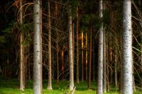 Tree trunks in evening light