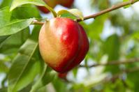 Ripe Peach on a branch
