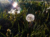 Dandelion under the sunshine