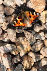 Small Tortoiseshell Butterfly, U.K.