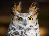 Startled Great Horned Owl (Bubo virginianus) Looks Up