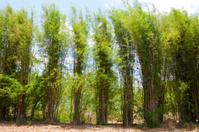 Huge bamboo around field