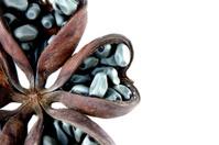 Hazel sterculia or tropical chestnut