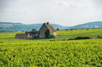 Vineyard Mersault Burgundy France