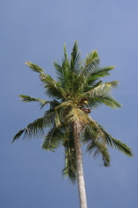 Palmtree against a clear blue sky
