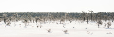 Frosty pine trees in marsh early at the morning