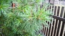 beautiful fir