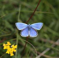 Adonis blue butterfly wings open