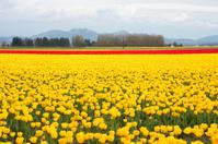 tulips landscape