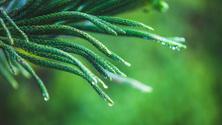 Araucaria pine tree with raindrops