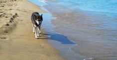 Siberian Husky on the beach. Color Image