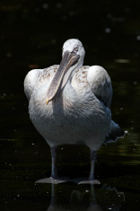 Young pelican's portrait