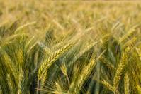 Barley field in the evening sun as macro shot