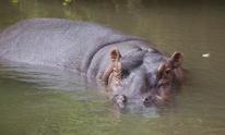 Hippopotamus,