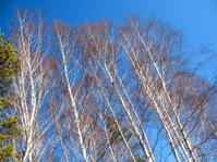 branch of tree and blue sky