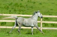 Asil Arabian horses - mare in gallop