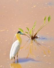 Pantanal Capped Heron Pilherodius pileatus