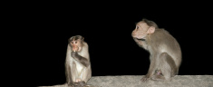 monkey (macaque) in a natural environment, South India, Kerala