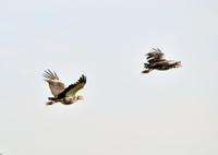 Pantanal Southern Screamers Flying Away