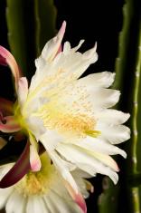 Night Blooming Cactus Series