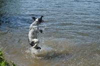 spaniel in water