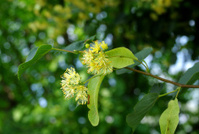 Flowering linden-tree