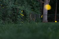 Fireflies (Lightening Bugs)