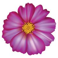 Cosmos flower - Vector Illustration