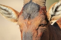 Red Hartebeest - Wildlife Background from Africa, Old Warrior