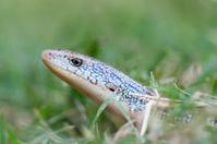 Eastern Glass (Legless) Lizard