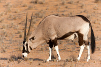Oryx Grazing