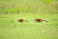 Pantanal Coati Race