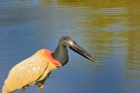 Winking Jabiru In Pantanal