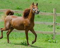 Asil Arabian horses - mare trotting