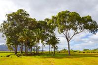 Hawaii Birthing Stones Trees